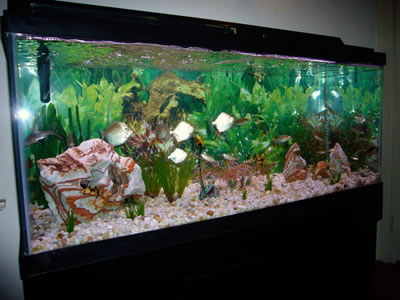 Freshwater fish for 90 gallon tank freshwater aquarium for Spring water for fish tank